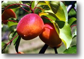 abricot orangered