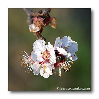 Date de floraison abricotier polonais ou orange de provence - Quand tailler les abricotiers ...
