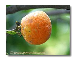 b7a6a709c3e2e0 agrume, citronnier,oranger, clementinier