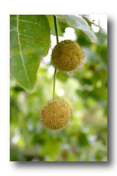Fruit du platane - cliche e.arbez
