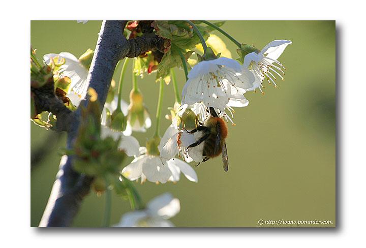 Floraison Cerisier France : date de floraison cerisier noir de meched ~ Nature-et-papiers.com Idées de Décoration
