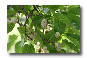 Alternitart septembre 2012 - Arbre murier fruit comestible ...