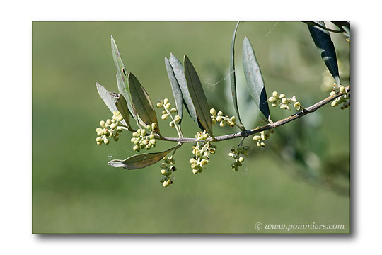 Floraison de l 39 olivier - Psylle de l olivier ...