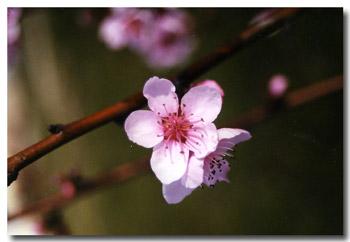 Peche Pecher Nectarine Nectarinier Pavie
