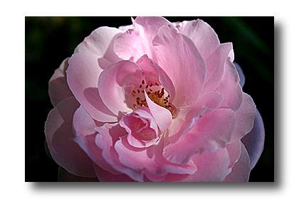 rose baronne a de rothschild - cliché e.arbez