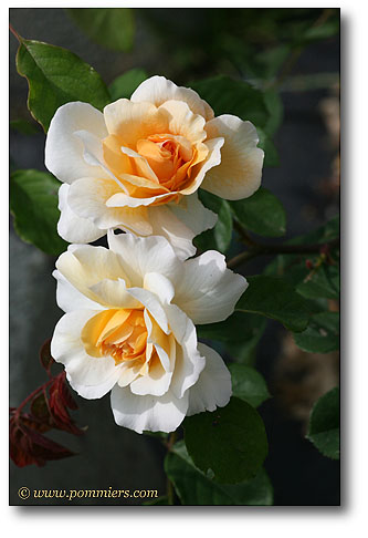 Rose Buff beauty