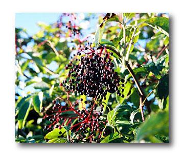 Sambucus nigra NERO sambuco Black Lace ® 30-40cm