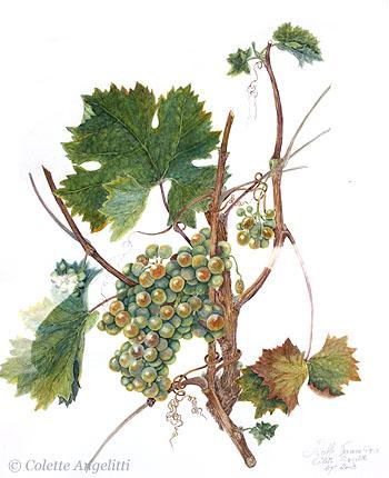 Vigne et raisin - Tailler la vigne raisin de table ...